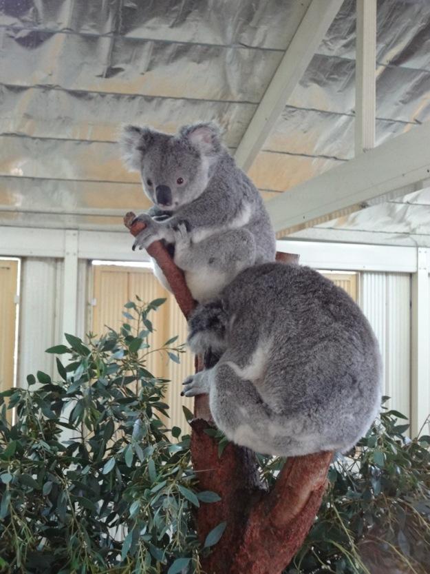 A couple of Queenland Koala's
