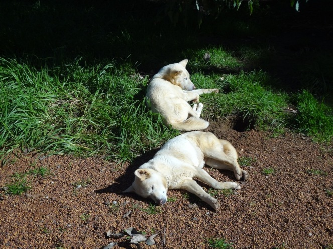 A couple Dingoes having a snooze.