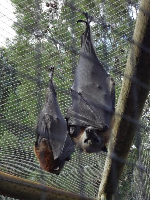 Fruit bats (they look like Batman!)