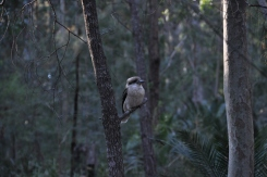 Kookaburra in the trees