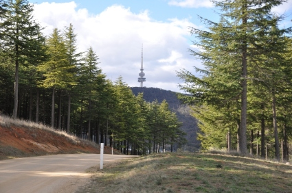 The Telstra tower in the background and some Himalayan Cedars in the foreground.