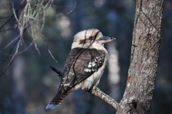 Close-up of the Kookaburra