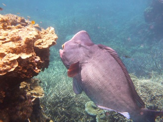 Big fish on the coral