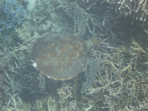 A large turtle wanders by.