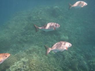 A school of fish swim by.