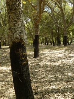 Cork trees in the Plantation