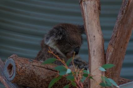 A shy koala