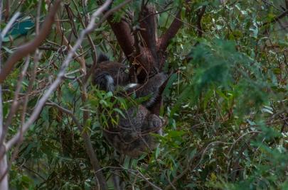 Can you spot the koala