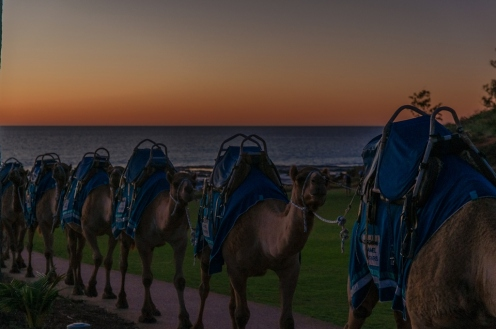 Camels coming off the beach